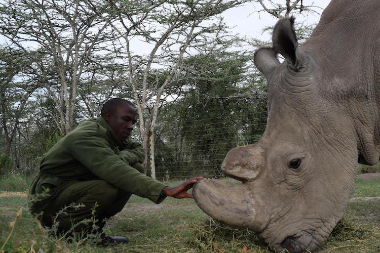 últimos rinocerontes brancos 8