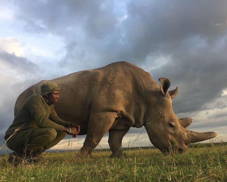 últimos rinocerontes brancos 9