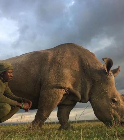 Conheça o homem que cuida dos dois últimos rinocerontes brancos do norte da Terra