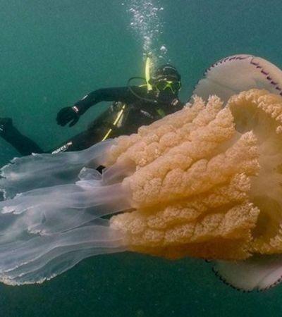 O incrível encontro de uma bióloga com uma água-viva gigante