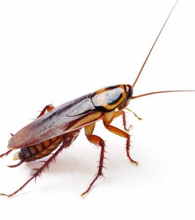 Barata está evoluindo para se tornar imune a inseticidas, diz estudo