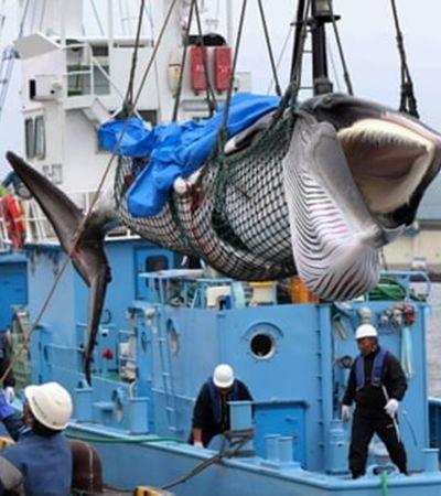 Mais atraso: Após 30 anos, caça de baleias está de volta no Japão