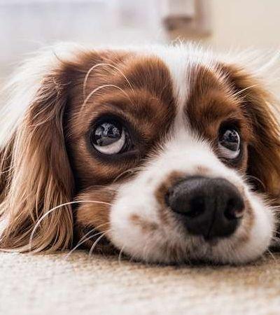 Cachorros aprenderam a fazer 'cara de dó' com a evolução, aponta estudo