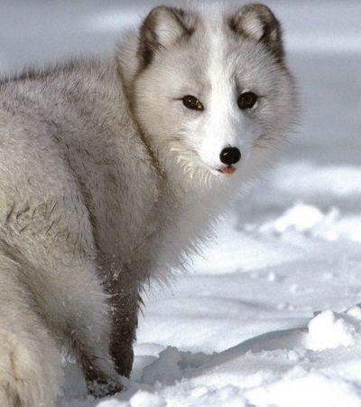 Raposa percorre 3,5 mil km da Noruega ao Canadá em 76 dias