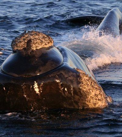 Temporada de avistamento de baleias começa em agosto em SC