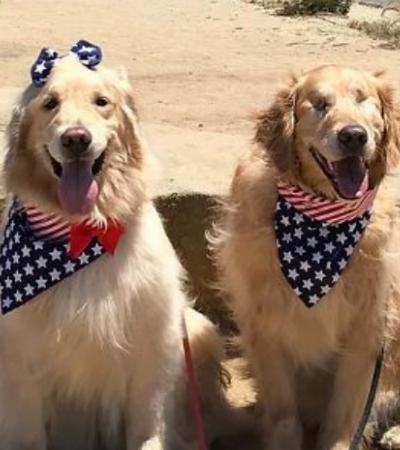 Cão-guia de golden retriever cego é tudo o que precisávamos para aquecer nossos corações
