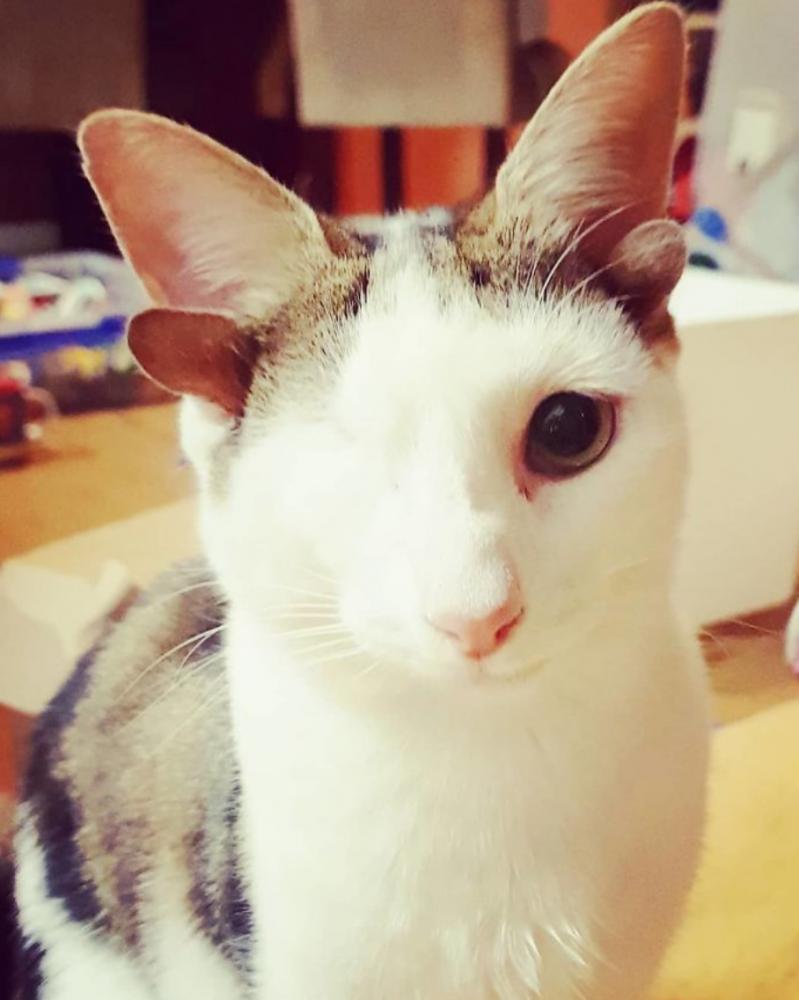 gatinho 4 orelhas 4