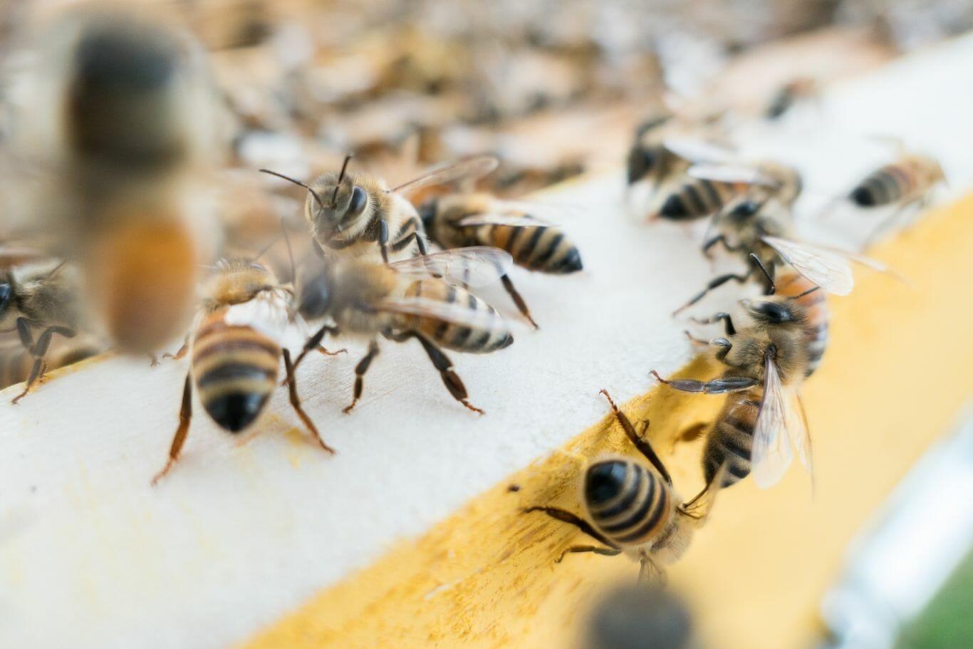 proteção das abelhas 2