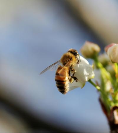 Califórnia quer incluir abelhas entre espécies nativas protegidas