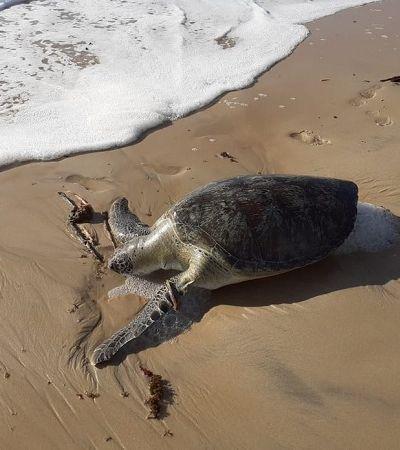 32 tartarugas marinhas são achadas mortas em praias de Pernambuco