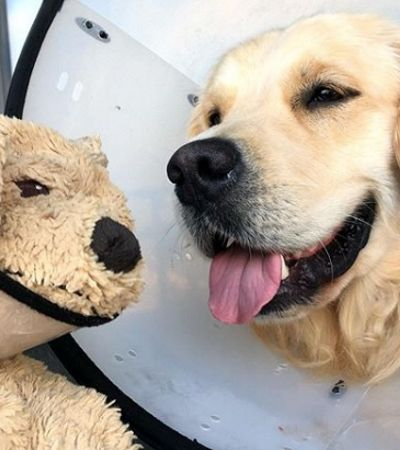 Operado, cachorro ganha versão pelúcia dele mesmo para se recuperar mais rápido