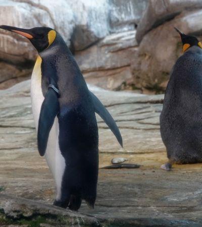 Pinguins do mesmo sexo adotam ovo em zoológico e comovem internet