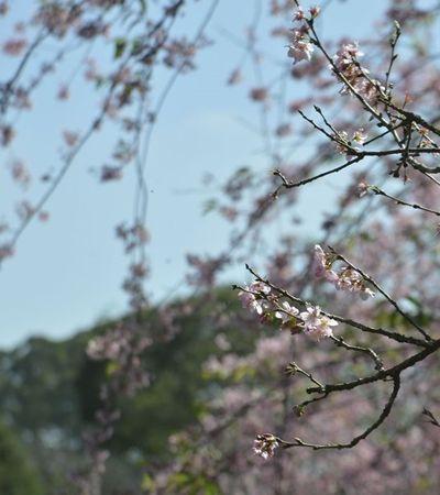41ª festa das cerejeiras chega ao Parque do Carmo