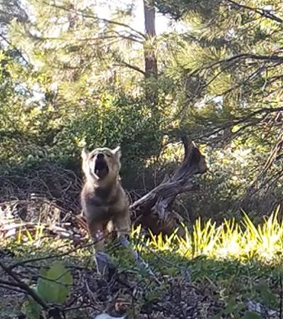 Depois de considerados extintos, lobos voltam a se reproduzir na Califórnia