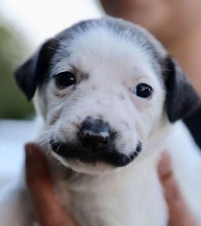 Cachorrinha nasce com mancha no formato do bigode do Salvador Dali