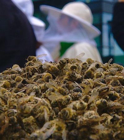 Como a morte de 500 milhões de abelhas em 3 meses no Brasil vai afetar nossa alimentação