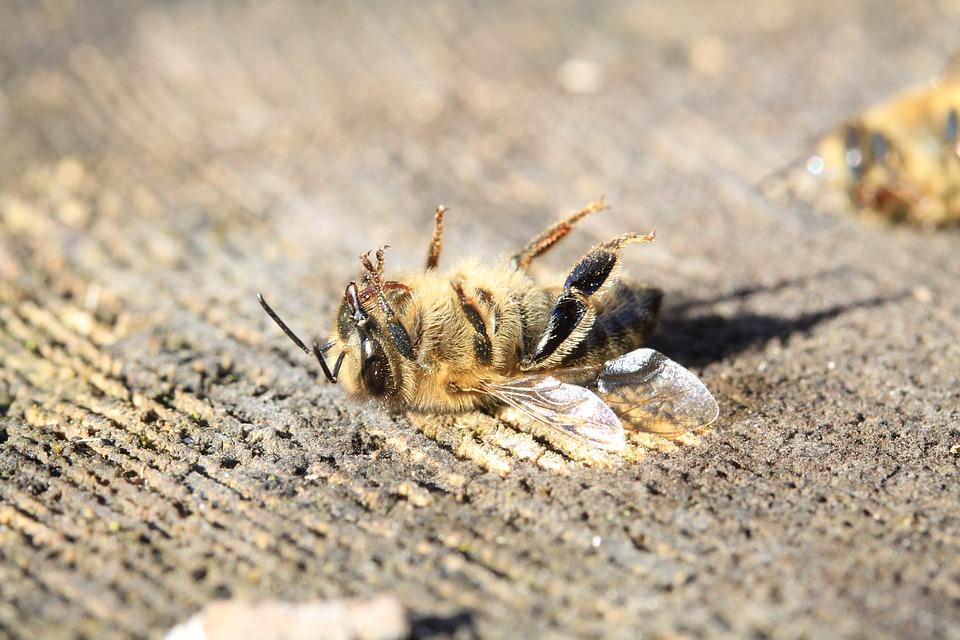abelha morta