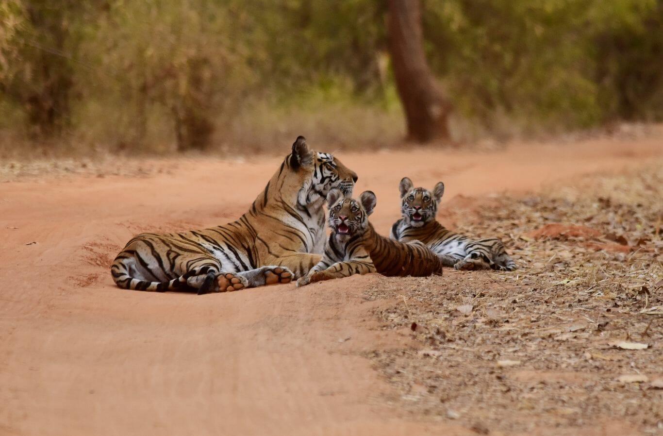 tigres na Índia 1