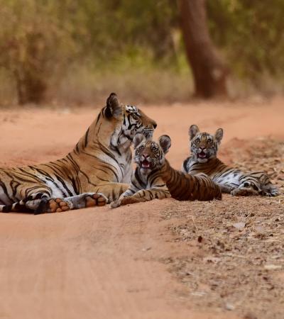 População de tigres aumenta mais de 30% em quatro anos na Índia