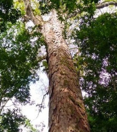 A árvore mais alta da Amazônia acaba de ser descoberta