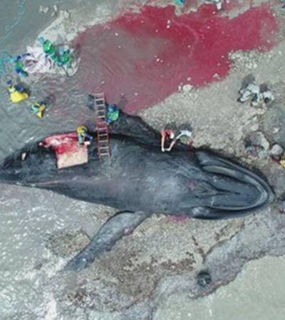 Moradores fazem churrasco com carne de baleia que encalhou em Salvador; entenda riscos