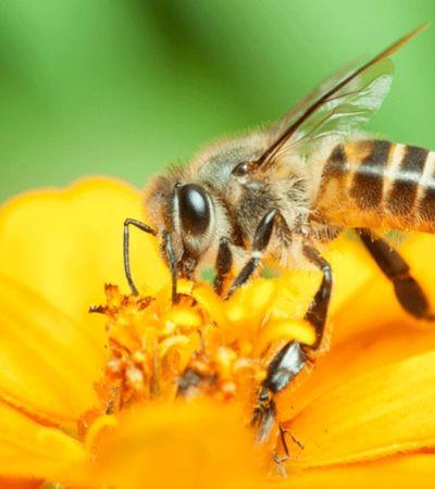 Cerveja Colorado cria ação para ajudar na proteção de 4 milhões de abelhas