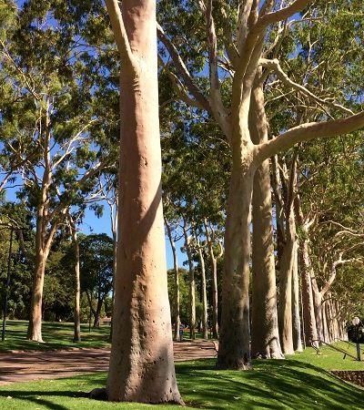 Brasileira descobre propriedade no eucalipto que pode substituir agrotóxicos