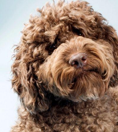 Criador de raça que mistura poodle com labrador está arrependido: 'Doido, Frankenstein!'