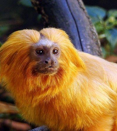 Por melhor qualidade de vida dos micos-leões-dourados, 20 mil árvores serão plantadas
