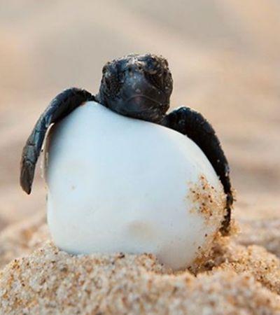 Tartarugas marinha bebês queimadas até a morte em praia são alerta para preservação da espécie