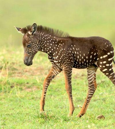 Este filhote de zebra diferentão nasceu com bolinhas ao invés de listras