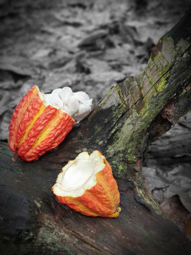 chocolate preservar amazônia 3