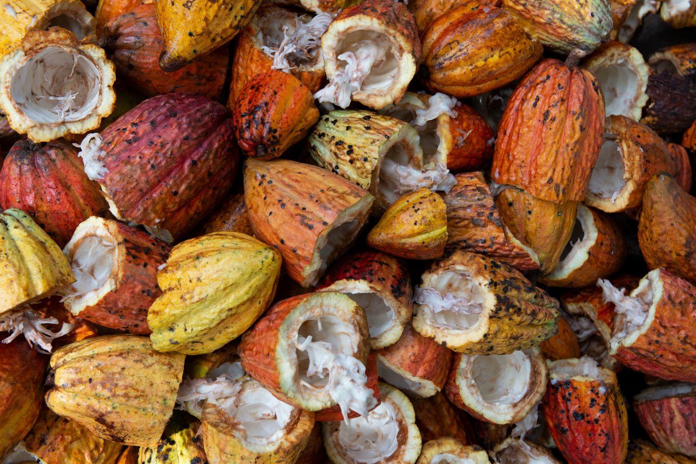chocolate preservar amazônia 5