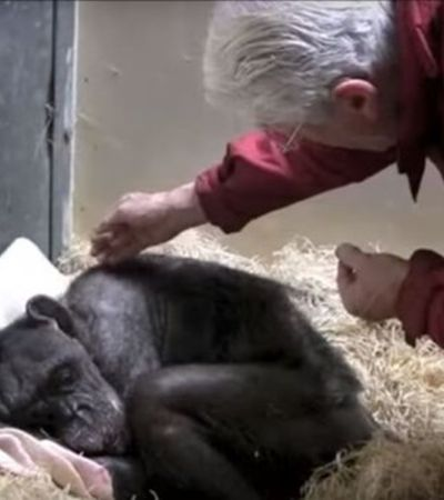 Antes de morrer, chimpanzé de 59 anos se emociona ao reconhecer primeiro cuidador