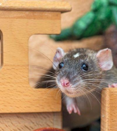 Cientistas ensinam ratos a brincar de esconde-esconde e eles amam a brincadeira