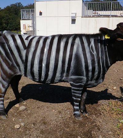 Cientistas descobrem que vacas pintadas com listras são menos picadas por moscas