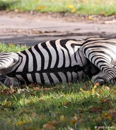 Zebras fogem de circo e uma delas é abatida com tiro; de quem é a culpa?