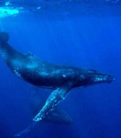 Leilão ameaça baleias em Abrolhos enquanto petróleo avança por litoral do Nordeste