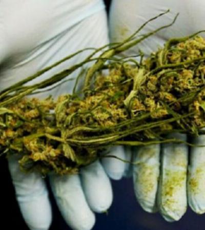Cannabis pode de fato matar células cancerígenas, assume governo dos EUA