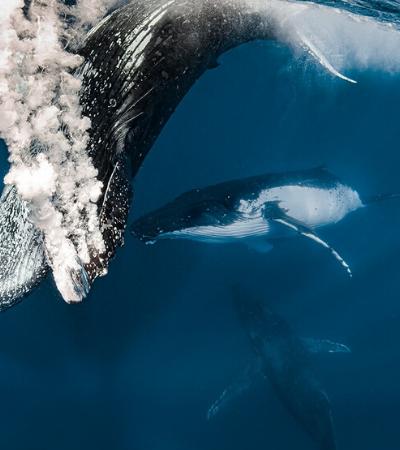 Fotógrafa registra belas imagens de mergulhos feitos com baleias