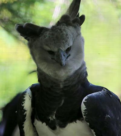 Harpia: um pássaro tão grande que alguns pensam que é uma pessoa fantasiada