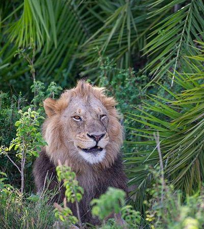 Este leão presenteou o fotógrafo de natureza Gren Sowerby com um sorriso contagiante