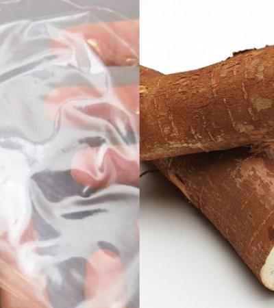 Pesquisadores da USP desenvolvem plástico de mandioca transparente