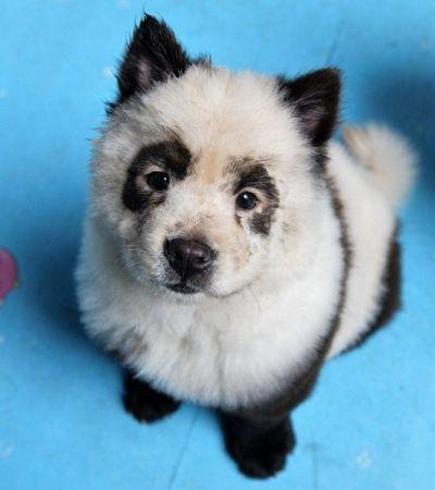 Café tinge cães de raça para que fiquem parecendo filhotes de panda na China