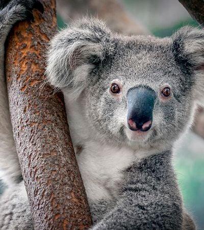 Coalas estão funcionalmente extintos devido a incêndios na Austrália, dizem pesquisadores