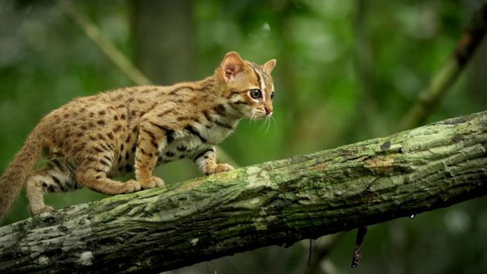menor gato do mundo 3