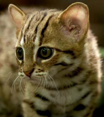 O menor gato selvagem do mundo é provavelmente a coisa mais fofa que você vai ver hoje