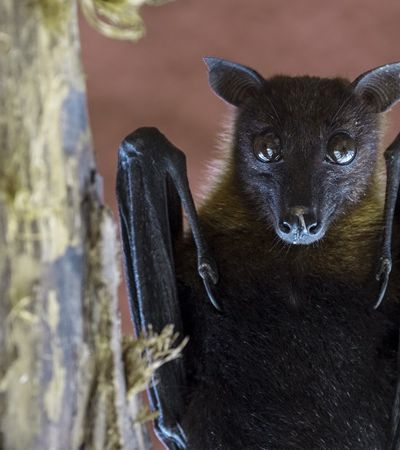 Acidentes com morcegos aumentam 101% em São Paulo; entenda