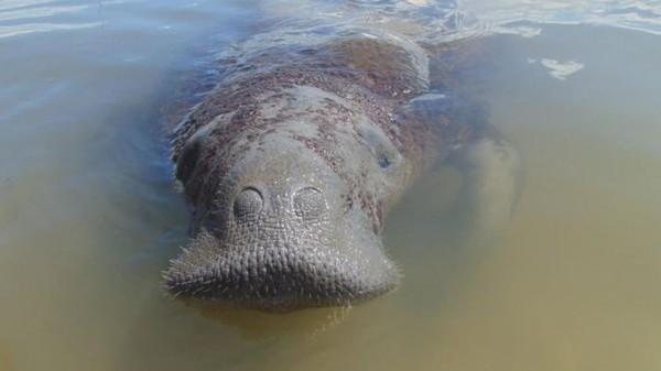 Peixe-boi Astro. Foto: Fundação Mamíferos Aquáticos