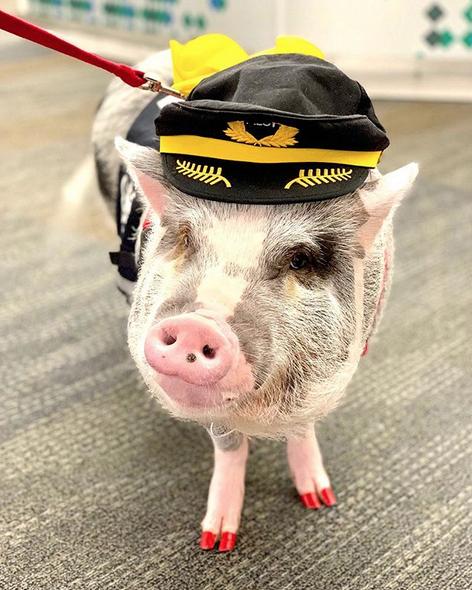 porco terapêutico aeroporto 1
